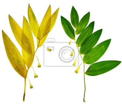 Getrocknete Blüten gepresste und getrocknete blüten polygonatum odoratum oder solomons