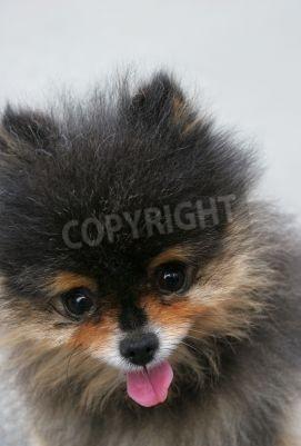 Fototapete Gesicht Einer Besonderen Rasse Pommerschen Pekinese Hund Mit