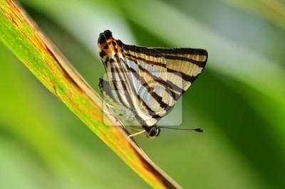 Gestreift Punsch Schmetterling