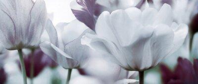 Fototapete Getönten Tulpen Konzept
