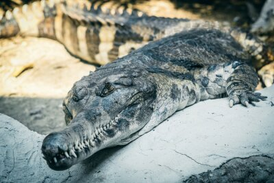 Gharial Reptil oder Fisch essen Krokodil im Park Zoo.