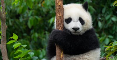 Fototapete Giant Panda bear baby cub sitting in tree in China Close-up