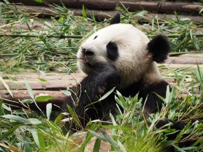 Fototapete Giant Panda, der Bambus in Chengdu der Provinz Sichuan China
