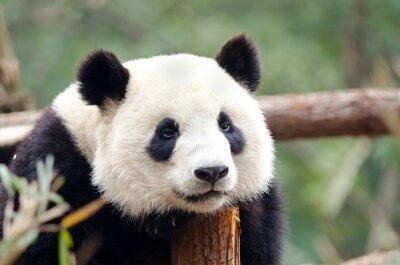 Fototapete Giant Panda - Sad, Tired, Bored looking Pose. Chengdu, China