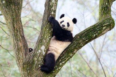 Fototapete Giant Panda Sitzung im Baum, Szechuan, China