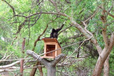 Gibbons hängen am Baum hourse