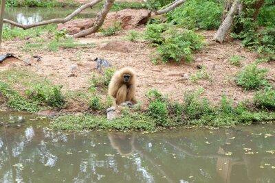 Gibbons hängen auf dem Boden