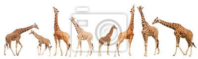 Fototapete Giraffe (Giraffa camelopardalis)