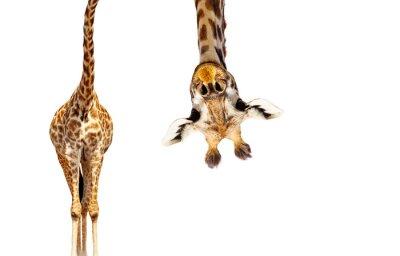 Fototapete Giraffe with long head look upside down on white