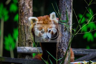 Glücklicher roter Panda