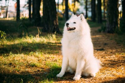 Fototapete Glücklicher weißer Samoyed Hund im Wald