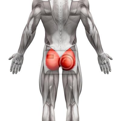 Gluteal muskeln / gluteus maximus - anatomie muskeln isoliert ...