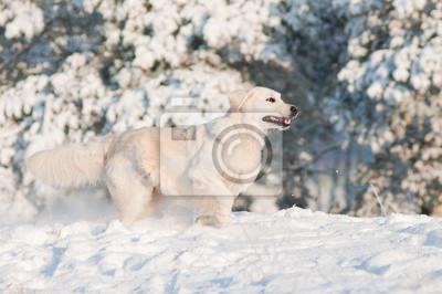 Golden Retriever Hund läuft im Schnee