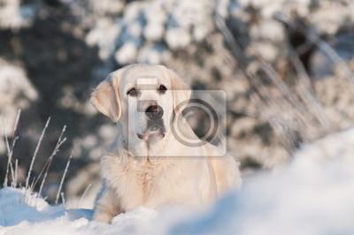 Golden Retriever Hund Porträt