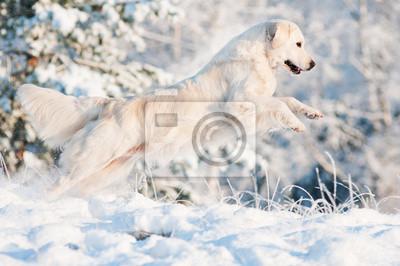 Golden Retriever Hund springt in den Schnee