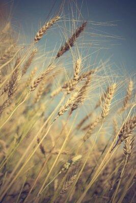 Fototapete Goldenen Weizenfeld und sonnigen Tag