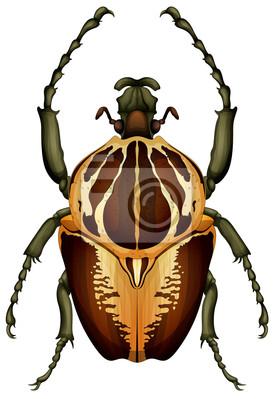 Goliathus regius - Goliath Käfer