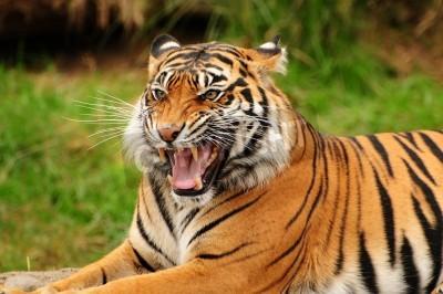Fototapete Gorgeous Sumatran tiger threatening its opponent by roaring
