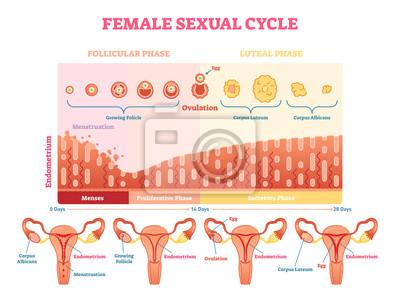 Grafisches diagramm der weiblichen sexuellen zyklusvektor ...