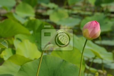 Graine Und Fleur De Lotus Au Jardin Au Printemps Fototapete