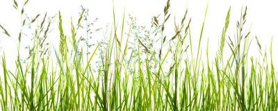 Fototapete Gräser, grashalme, wiese vor weißem hintergrund