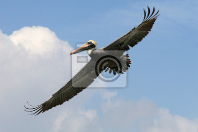 Grau Pelikan im Flug