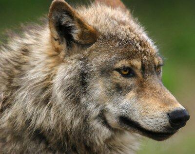 Fototapete Grau Wolf Kopf Erschossen