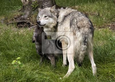 Fototapete Grau Wolf Mutter Und Schwarz Baby Wolf