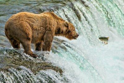 Fototapete Graubär-Bärn-Katmai Nationalpark Alaska