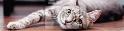 Fototapete Graue flauschige Katze ist. Das Konzept der Haustiere. Banner für die Website.