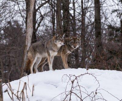 Fototapete Graue oder graue Wölfe