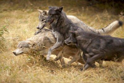 Fototapete Graue Wolf Pack am Spiel