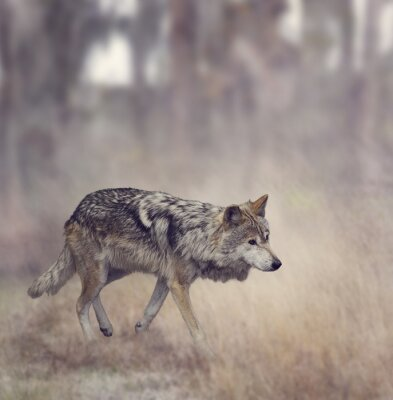 Fototapete Grauer Wolf (Canis lupus)