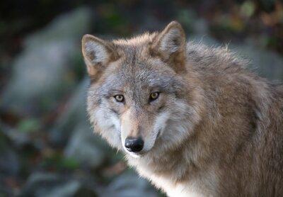 Fototapete Grauer Wolf Porträt 3