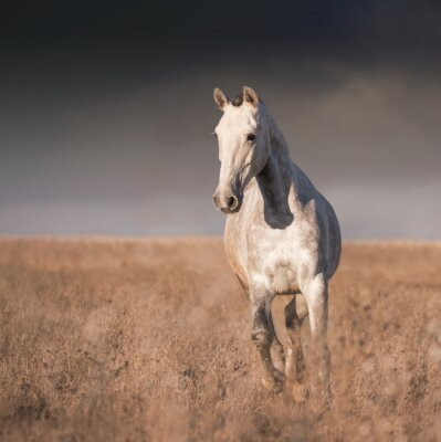 Fototapete Graues Pferd laufen