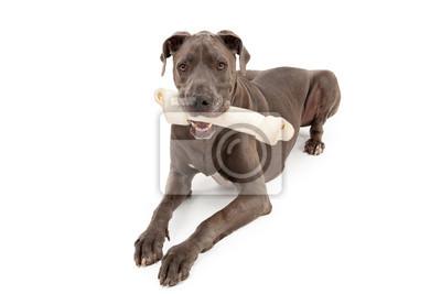 Fototapete Great Dane Dog With Large Bone