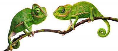 Fototapete green chameleon - Chamaeleo calyptratus