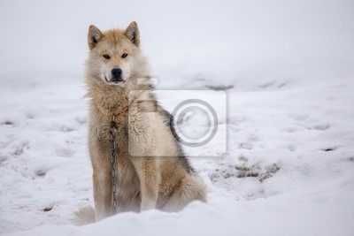 Fototapete Greenlandic Husky