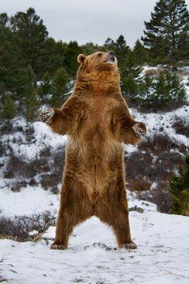 Fototapete Grizzly Bear