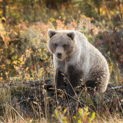 Fototapete Grizzlybär in den Herbstfarben an Alaska