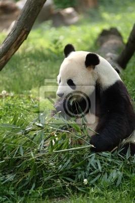 Fototapete Große Pandas in einem Feld