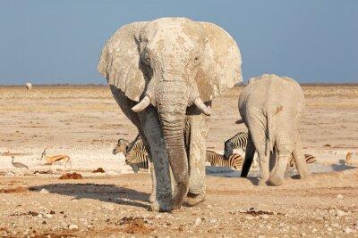 Fototapete Großer afrikanischer Elefant (Loxodonta africana) Stier bedeckt im Schlamm, Etosha Nationalpark, Namibia.