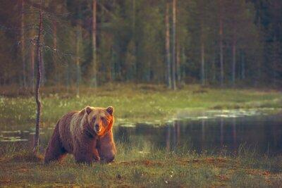 Fototapete Großer männlicher Bär zu Fuß im Moor bei Sonnenuntergang