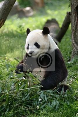 Fototapete Großer Panda