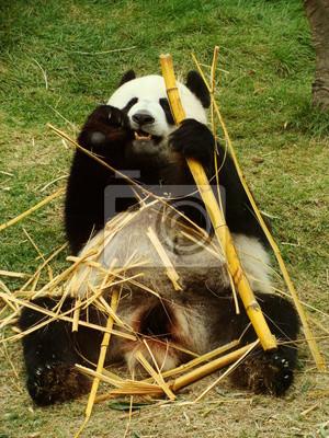 Grosser Panda Bar Essen Bambus China Fototapete Fototapeten Panda