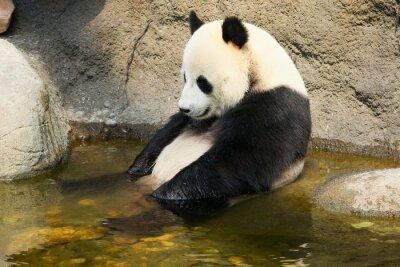 Fototapete Großer Panda sitzen in Wasser