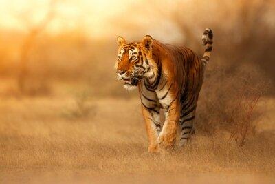Fototapete Großer Tiger männlich in der Natur Lebensraum. Tiger Spaziergang während der goldenen Lichtzeit. Tierwelt mit Gefahr Tier. Heißer Sommer in Indien. Trockener Bereich mit schönem indischen Tiger, Panth