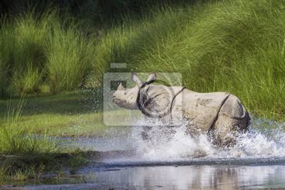 Größere Einhörnchen Rhinoceros in Bardia Nationalpark, Nepal