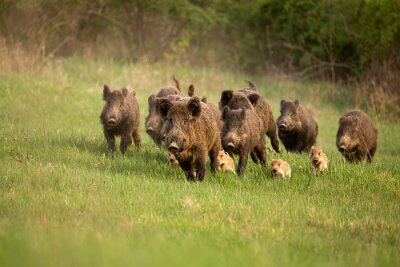 Fototapete Group of wild boars, sus scrofa, running in spring nature. Action wildlife scenery of a family with small piglets moving fast forward to escape from danger.