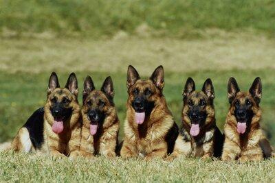 Fototapete  groupe de 5 bergers allemands allongés de face - obéissance